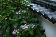 長谷寺の紫陽花_2013yaotomi_53s.jpg