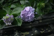 長谷寺の紫陽花_2013yaotomi_55s.jpg