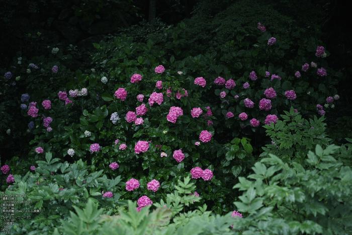 長谷寺の紫陽花_2013yaotomi_7s.jpg