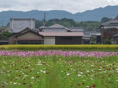 藤原宮跡,コスモス_2013yaotomi_2s.jpg