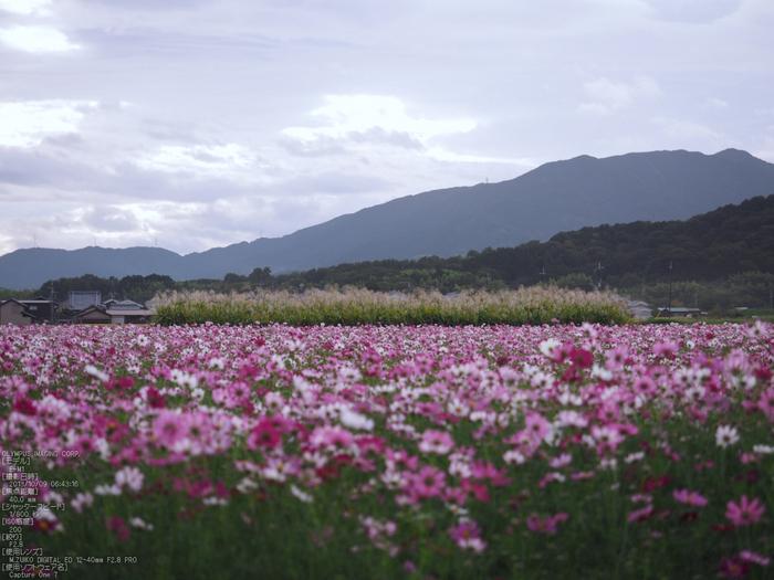 藤原宮跡,コスモス_OLYMPUS,OMD,EM1_2013yaotomi_15s.jpg