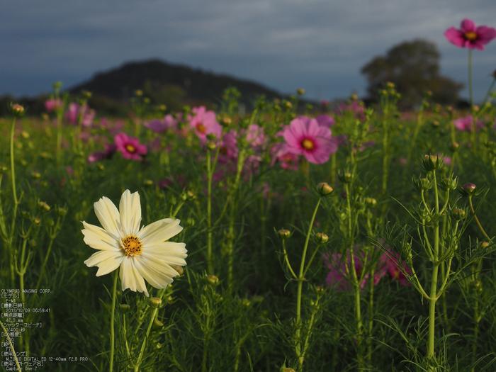 藤原宮跡,コスモス_OLYMPUS,OMD,EM1_2013yaotomi_8s.jpg
