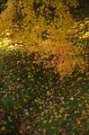 PK3_5462_SIL(40mm,F5,0,iso200,FULL)_龍安寺紅葉2013yaotomi_.jpg
