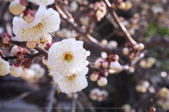 北野天満宮,梅(OMD_EM10,09-03-01,33mm,F9,iso200)2014yaotomi_.jpg