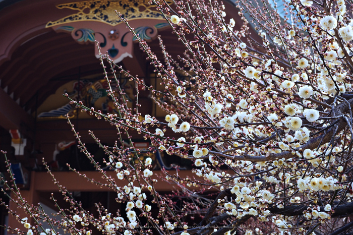 北野天満宮,梅(OMD_EM10,09-06-06,38mm,F9,iso250)2014yaotomi_.jpg