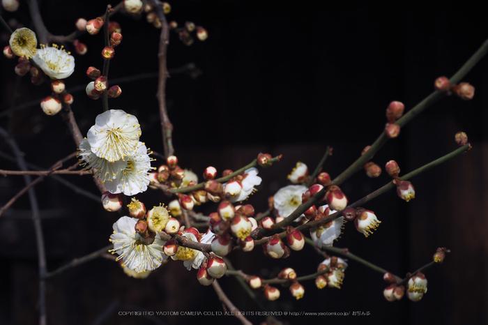 北野天満宮,梅(OMD_EM10,09-16-17,42mm,F9,iso200)2014yaotomi_.jpg