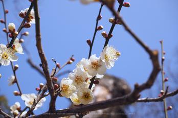 北野天満宮,梅(OMD_EM10,09-33-23,37mm,F9,iso200)2014yaotomi_.jpg
