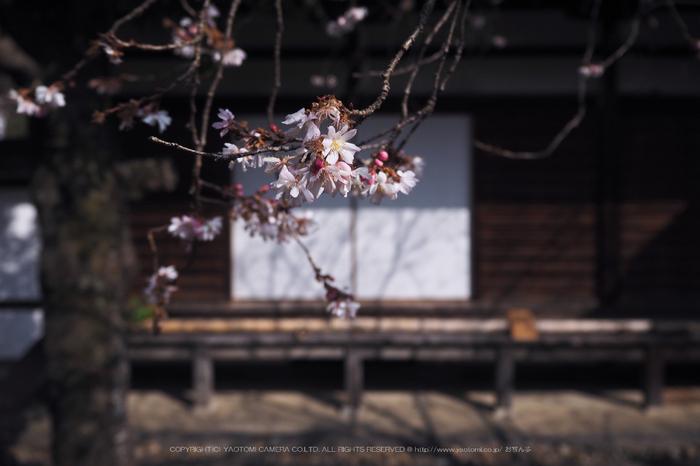 北野天満宮,梅(OMD_EM10,09-50-31,14mm,F3.5,iso200)2014yaotomi_.jpg