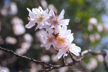 北野天満宮,梅(OMD_EM10,09-53-48,31mm,F7.1,iso200)2014yaotomi_.jpg
