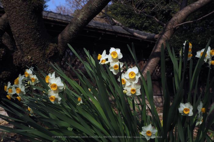北野天満宮,梅(OMD_EM10,09-57-25,15mm,F8,iso200)2014yaotomi_.jpg