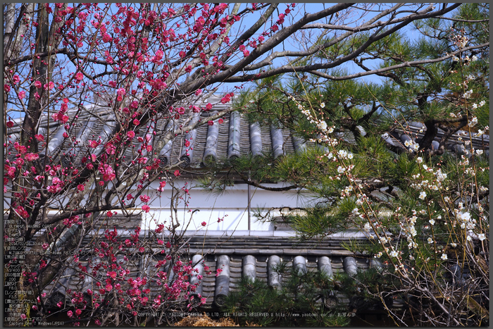 北野天満宮,梅(OMD_EM10,10-44-40,42mm,F8,iso200)2014yaotomi_Top.jpg