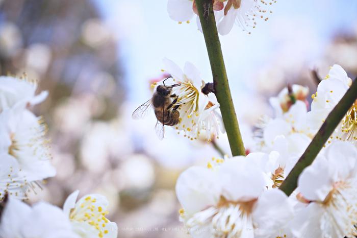 北野天満宮,梅(OMD_EM10,10-51-44,42mm,F6.3,iso200)2014yaotomi_.jpg