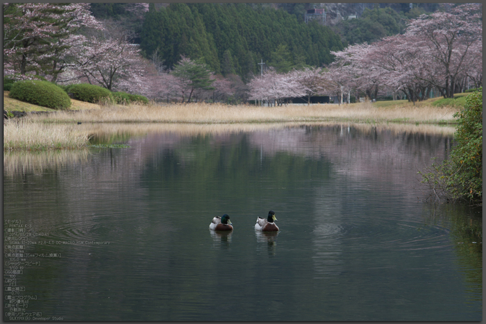 下北山村,桜,2014開花(PK3_8011_F7,1,70mm)_2014yaotomi_Top.jpg