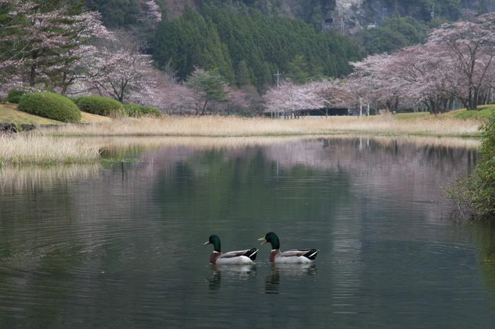下北山村,桜,2014開花(PK3_8012_F7,1,70mm)_2014yaotomi_.jpg