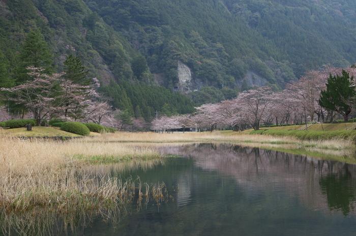 下北山村,桜,2014開花(PK3_8022_F9,0,45mm)_2014yaotomi_.jpg