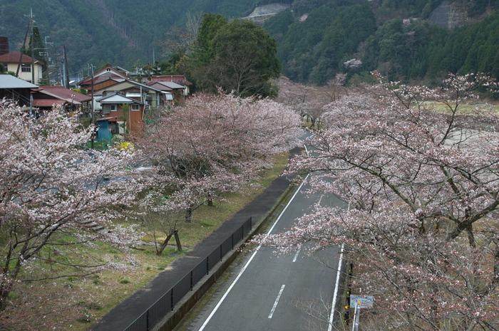 下北山村,桜,2014開花(PK3_8039_F7,1,31mm)_2014yaotomi_.jpg