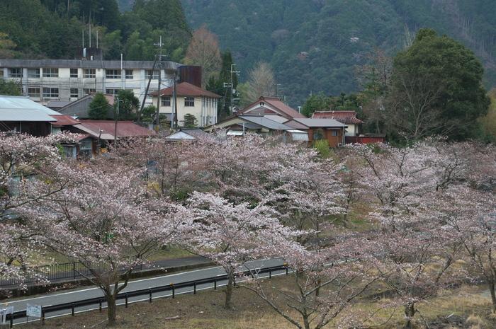 下北山村,桜,2014開花(PK3_8047_F8,0,45mm)_2014yaotomi_.jpg