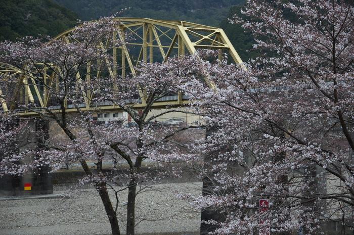 下北山村,桜,2014開花(PK3_8060_F4,0,53mm)_2014yaotomi_.jpg