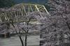 下北山村,桜,2014開花(PK3_8060_F4,0,53mm,FULL)_2014yaotomi_.jpg