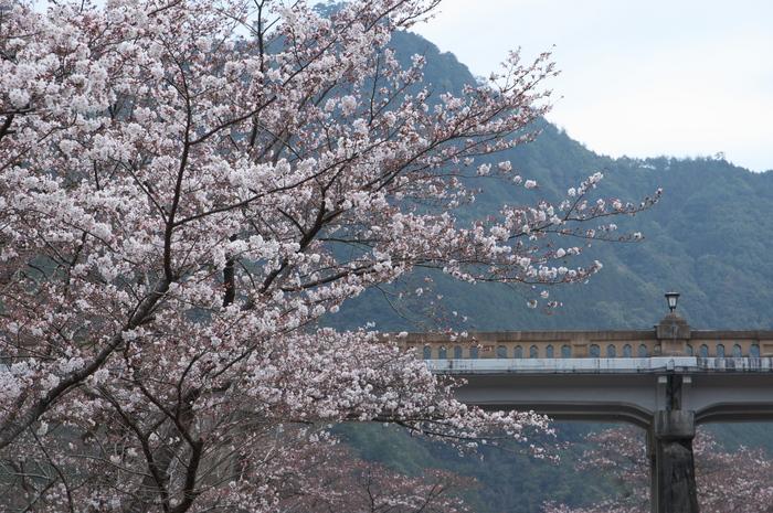 下北山村,桜,2014開花(PK3_8066_F7,1,70mm)_2014yaotomi_.jpg