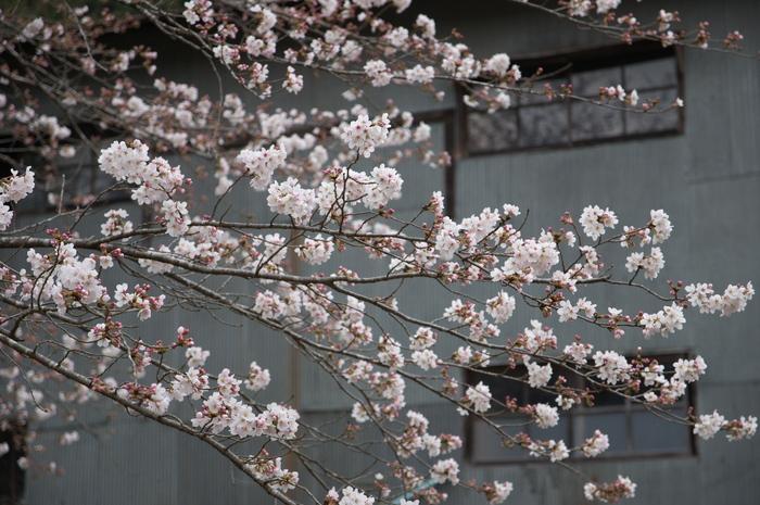 下北山村,桜,2014開花(PK3_8069_F4,0,70mm)_2014yaotomi_.jpg