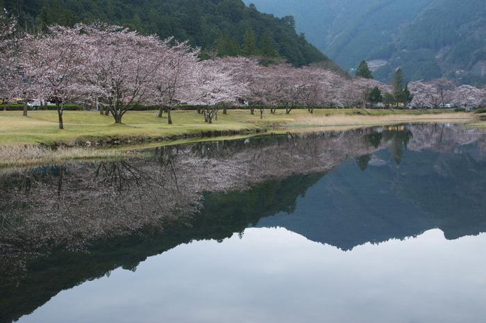 下北山村,桜,2014開花(PK3_8091_F7,1,31mm)_2014yaotomi_.jpg