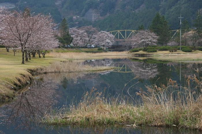 下北山村,桜,2014開花(PK3_8099_F9,0,70mm)_2014yaotomi_.jpg