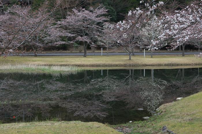 下北山村,桜,2014開花(PK3_8103_F9,0,45mm)_2014yaotomi_.jpg