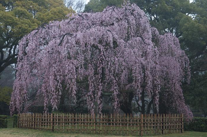 出水,桜_2014yaotomi_PK3_7650(F7,1_48mm).jpg