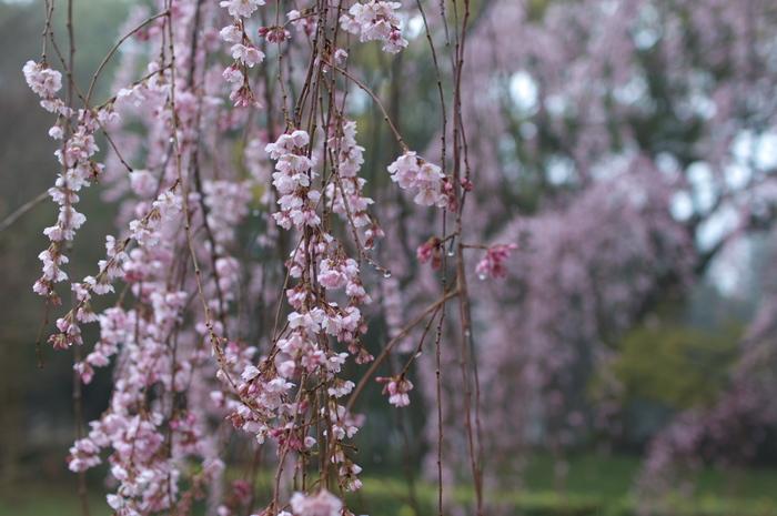 出水,桜_2014yaotomi_PK3_7666(F2,0_30mm).jpg