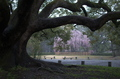出水,桜_2014yaotomi_PK3_7702(F1,6_30mm).jpg