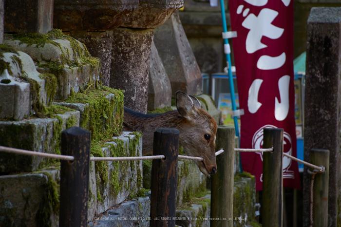 奈良,梅,SIGMA18_200,(IMG_9964,200mm,F6.3)2014yaotomi_.jpg