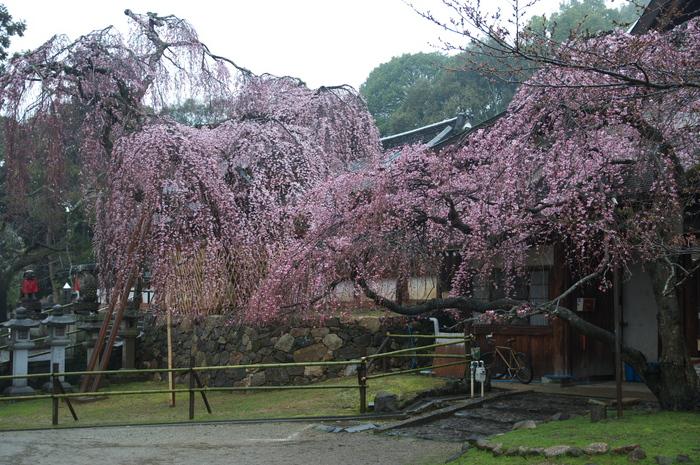 奈良桜,2014近況,PK3_7786(F4,0)_2014yaotomi_.jpg