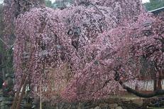 奈良桜,2014近況,PK3_7791(F7,1)_2014yaotomi_.jpg