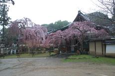 奈良桜,2014近況,PK3_7794(F7,1)_2014yaotomi_.jpg