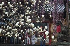 奈良桜,2014近況,PK3_7828(F5,6)_2014yaotomi_.jpg
