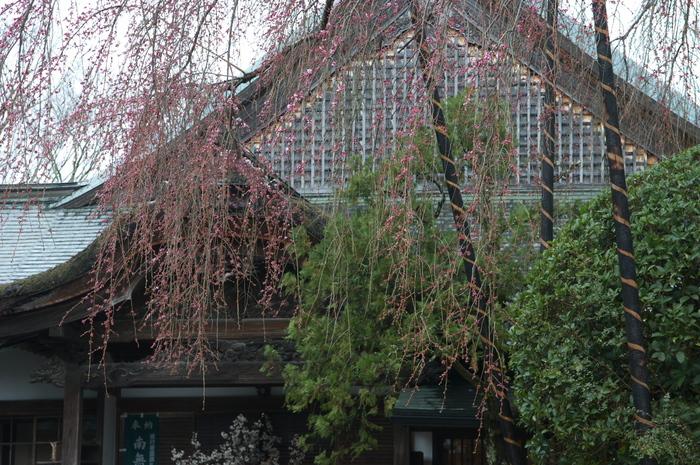 奈良桜,2014近況,PK3_7864(F6,3)_2014yaotomi_.jpg