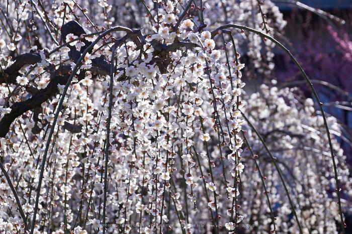結城神社,梅,SIGMA18_200,(IMG_0482,106mm,F8)2014yaotomi_.jpg