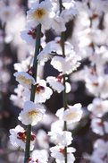 結城神社,梅,SIGMA18_200,(IMG_0502,75mm,F6.3,FULL)2014yaotomi_.jpg