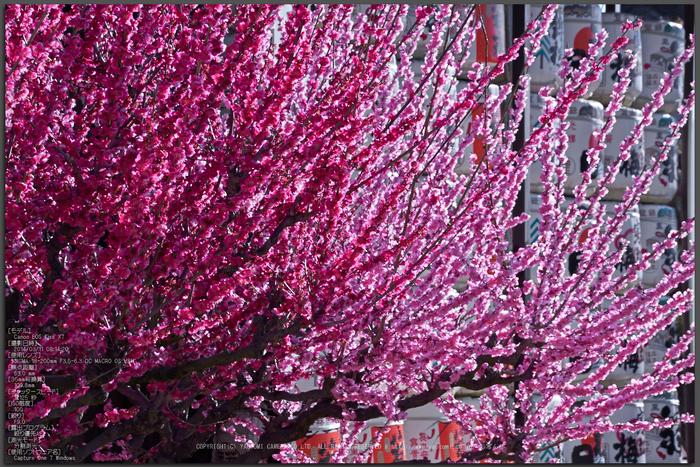 結城神社,梅,SIGMA18_200,(IMG_0509,63mm,F9)2014yaotomi_Top.jpg