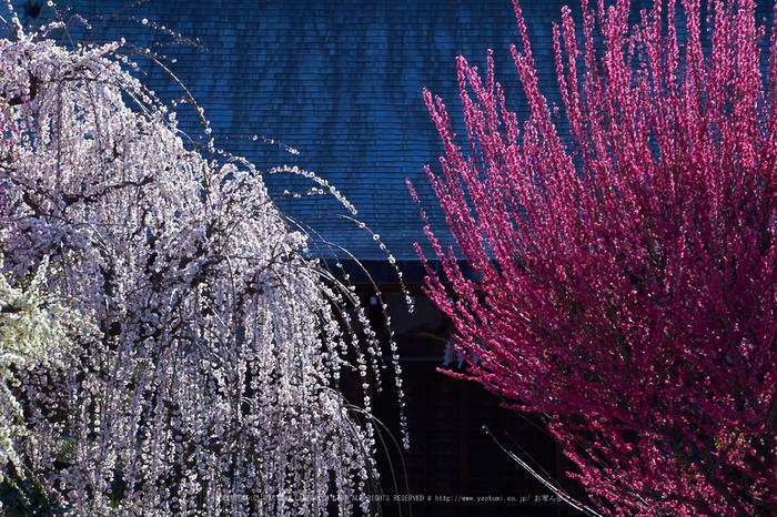 結城神社,梅,SIGMA18_200,(IMG_0538,89mm,F9)2014yaotomi_.jpg