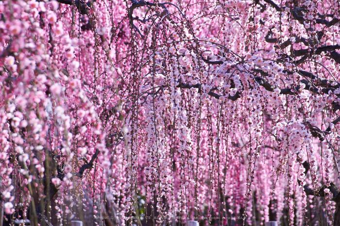 結城神社,梅,SIGMA18_200,(IMG_0591,200mm,F8)2014yaotomi_.jpg