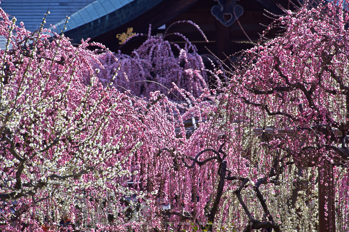 結城神社,梅,SIGMA18_200,(IMG_0641,200mm,F10)2014yaotomi_.jpg