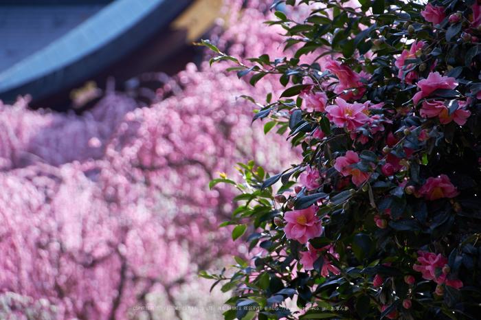 結城神社,梅,SIGMA18_200,(IMG_0651,200mm,F6.3)2014yaotomi_.jpg