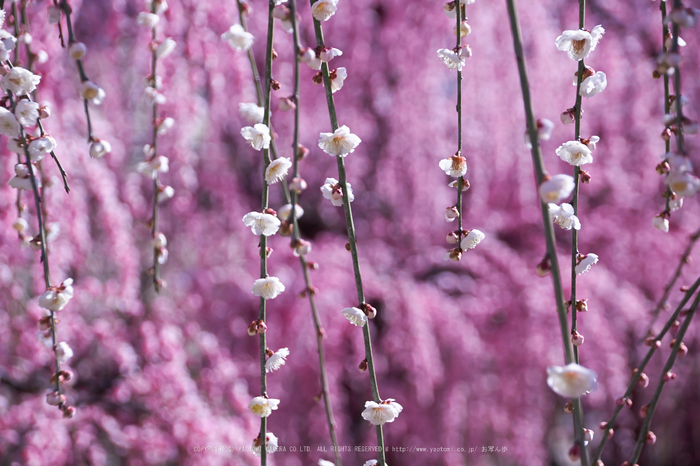 結城神社,梅,SIGMA18_200,(IMG_0680,106mm,F5.6)2014yaotomi_.jpg