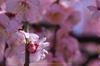 結城神社,梅,SIGMA18_200,(IMG_0698,170mm,F10,FULL)2014yaotomi_.jpg