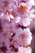結城神社,梅,SIGMA18_200,(IMG_0702,200mm,F10,FULL)2014yaotomi_.jpg