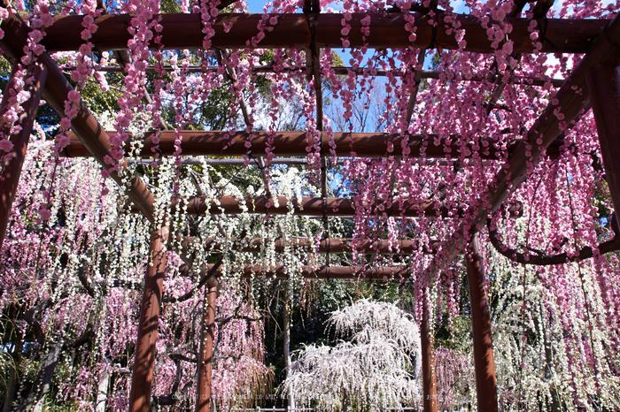 結城神社,梅,SIGMA18_200,(IMG_0762,18mm,F11)2014yaotomi_.jpg
