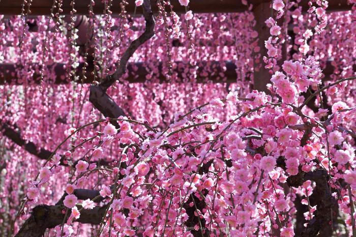 結城神社,梅,SIGMA18_200,(IMG_0764,89mm,F11)2014yaotomi_.jpg