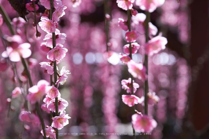 結城神社,梅,SIGMA18_200,(IMG_0770,200mm,F9)2014yaotomi_.jpg